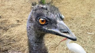 Emu Sound! - What Does the Emu Say? - Funny Bird Sound