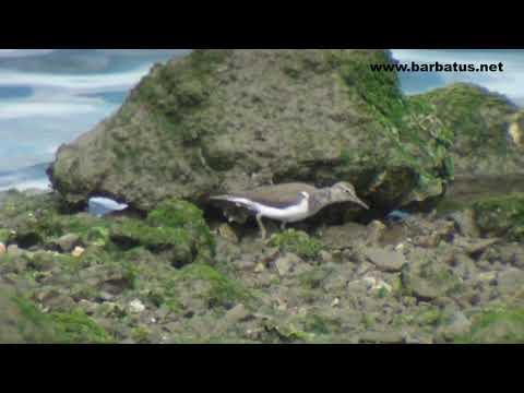 Andarríos chico ( Actitis hypoleucos ) Common Sandpiper