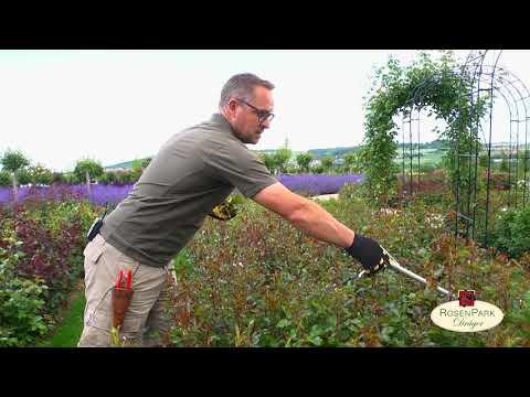 Rosen pinzieren / richtig schneiden für eine längere Blühphase