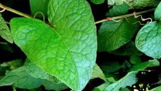 La Doncella Irlandesa - Akelarre Agrocelta