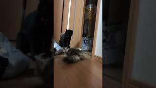 一撃必殺の猫パンチ‼︎ 猫vsネコ