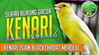 MANTAB KENARI Gacor Isian BLACKTHROAT -  Masteran Kenari