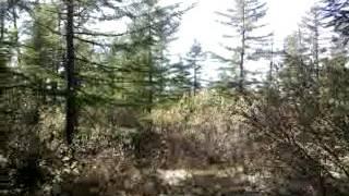 Лес на севере Сахалина(2010)