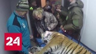 В Приморье голодный тигр в поисках еды пришел на ферму