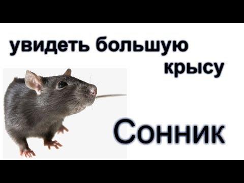 Сонник: видеть во сне большую крысу (мышь) Толкование снов