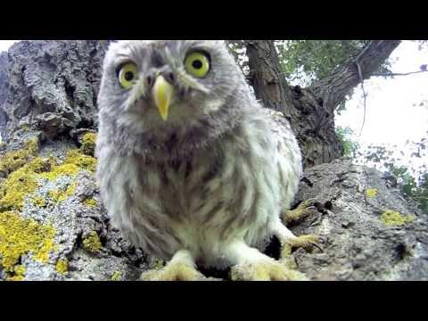 Bébé Chouette Trop Mignonne - Baby Owl ! GoPro HD