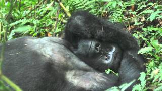 preview picture of video 'Gorilla Trekking in Bwindi National Park Uganda 2010 (HD)'
