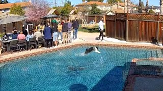 Dog Amazes People By Running Over Pool
