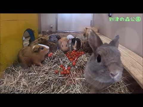 どうぶつにサクランボのプレゼント~ウサギとモルモット編~★到津の森公園
