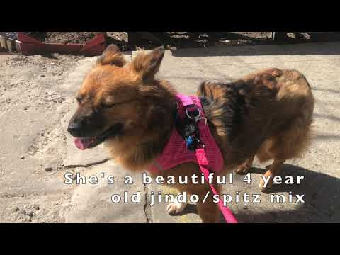 Ariel, an adopted Jindo & Spitz Mix in Brooklyn, NY_image-1