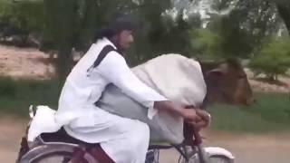 अनोखी सवारी ! गाय को कराई बाइक की सवारी