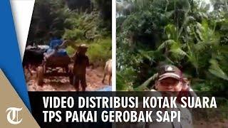 Viral Video Distribusi Kotak Suara TPS Pakai Gerobak Sapi: Sapinya Ngambek Komandan!