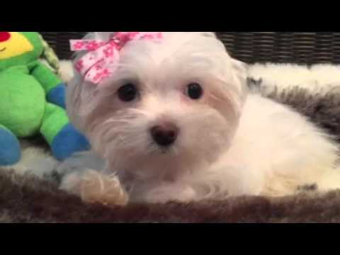Teddy bear face, Havapoo puppy