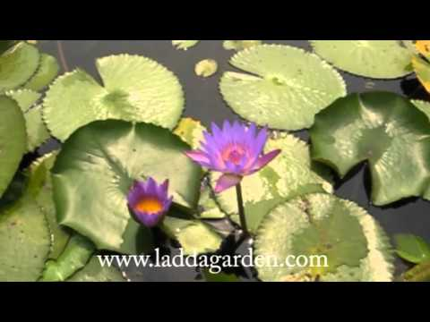 Nymphaea Gasorn waterlily