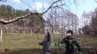 りんごの剪定 (成り枝更新剪定~チェーンソー編② 大枝取り)