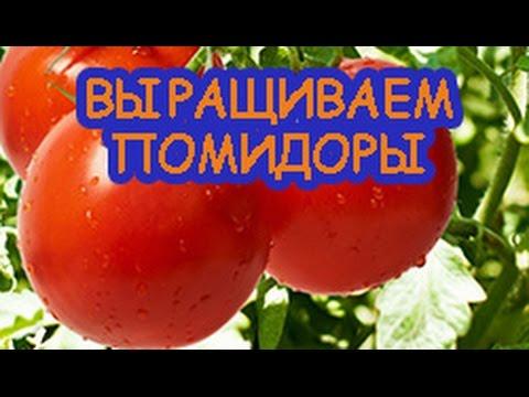 Как получить большой урожай помидоров.