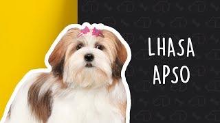 Tudo Sobre O LHASA APSO! #Dogueiros #Lhasa #LhasaApso