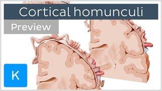 Motor and sensory cortical homunculus (preview) - Human Neuroanatomy |Kenhub