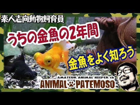 そろそろ2年!今までの金魚飼育を振り返ってみる 中編【金魚】【出目金デメキン】 【アクアリウム】