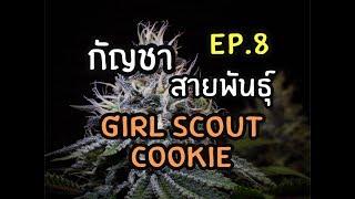 Ep.8 กัญชาสายพันธุ์. Girl Scout Cookie