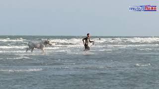 เกิดเหตุระทึกวัวลานราคาหลักแสน 2 ตัว วิ่งหนีเตลิดลงทะเลจมหายขณะนำมาฝึกซ้อมในทะเล