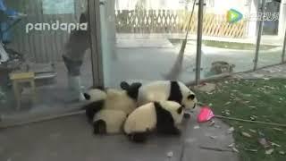 Не послушные панды!