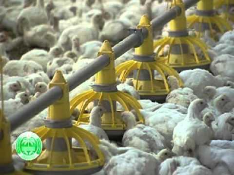 فيديو: تقرير عن تربية وإنتاج الدجاج اللاحم فى عمان