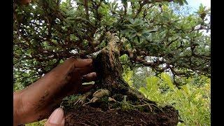 Học cách xử lý rễ cây kiểng để ăn tiền từ nông dân trẻ - Hương vị đồng quê - Bến Tre - Miền Tây