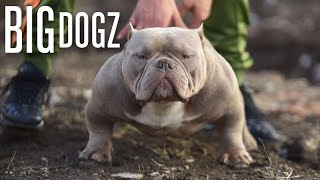 The Muscular Micro-Bully With $10,000 Pups   BIG DOGZ