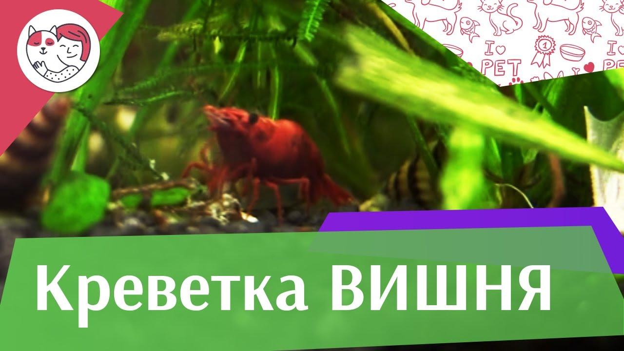 Креветка вишня Совместимость с другими обитателями аквариума на ilikepet