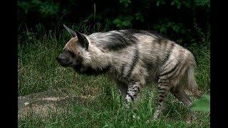 Restless Endangered  Striped Hyenas At Mysore Zoo
