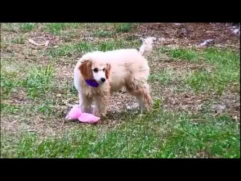 Sophie AKC mid size Standard Poodle