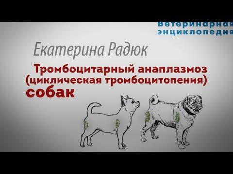 Тромбоцитарный анаплазмоз собак. Циклическая тромбоцитопения