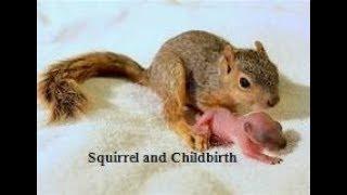 Squirrel and Childbirth /Squirrels give Birth