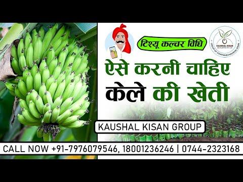 Tissue Culture Banana Plant