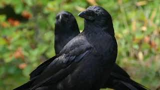 Crows are as smart as 7-year-old humans