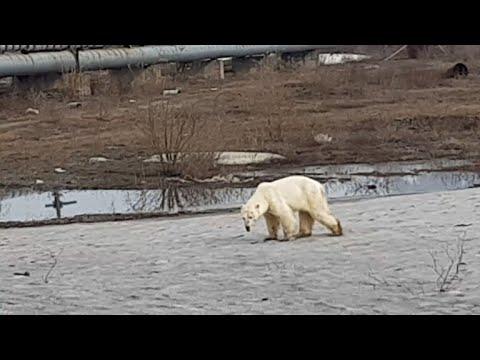 Armer Bär