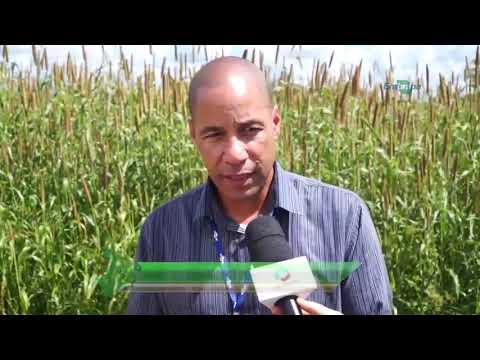 Repórter em Campo: Milheto como alimento para o rebanho