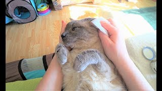 Tutorial:  How to Get a Cat Used to Ear Cleaning & a Natural Treatment against Ear Mites