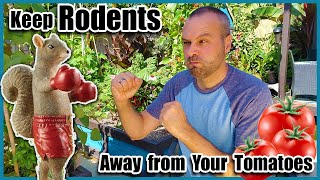 Keep Rats and Squirrels Out of Your Tomato Garden