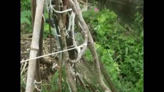 無花果:根腐れ:afigtree:rootrot:japanesefigtree