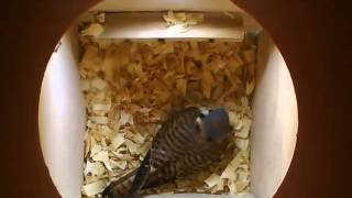 American Kestrel inspecting the nestbox