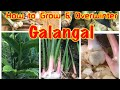 How to Grow & Overwinter Galangal in cold climate zone.