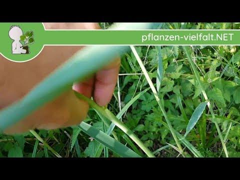 Schilfrohr - Wuchs-Update - 23.05.18 (Phragmites australis) - essbare Wildpflanzen Bestimmung