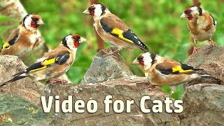 Videos for Cats : Summer Birds and Bird Sounds - 8 HOURS