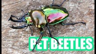 Pet Beetles!