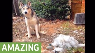 Time lapse proves that grooming a Husky is no easy task