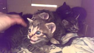 Tiny kittens hissing and spitting