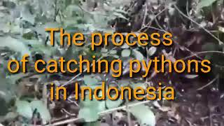 the process of catching pythons