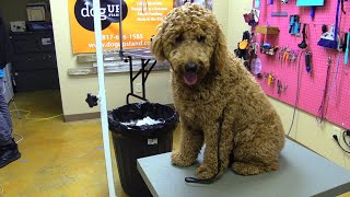 ONLY OPTION IS TO SHAVE THIS MATTED GOLDEN DOODLE